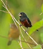 Chestnut-bellied Seed-Finch