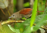 Plain-crowned Spinetail