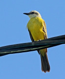 White-throated Kingbird