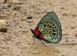 Butterfly Manu Road3.jpg