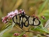 Butterfly Manu Road4.jpg