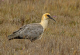 Andean Ibis