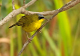 Black-lored Yellowthroat