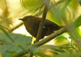 Sepia-brown Wren