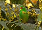 Yellow-collared Euphonia