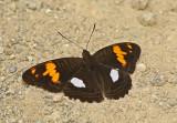 Butterfly Maquipucuna