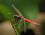 Dragonfly Septimo Paraiso