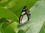 Butterfly Gareno