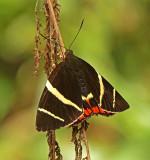 Butterfly Wildsumaco