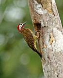 Spot-breasted Woodpecker