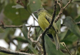 Red-billed Tyrannulet