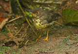 Sclater's Nightgale-Thrush