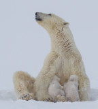 wapusk_polar_bears