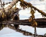 OtterBarnabySlough030417.jpg