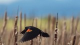 RedwingedBlackbird1_050117.jpg