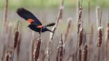 RedwingedBlackbird3_050117.jpg