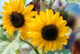 SunflowersCascadinFrmStnd090417.jpg
