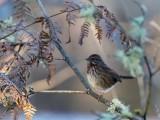 Sparrow111718.jpg