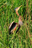 Purple Heron
