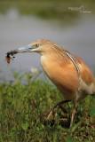 Squacco Heron-Cascina Spinola