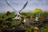 Common Tern-Ultima Frontiera