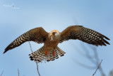 Red-footed Falcon-ULTIMA FRONTIERA