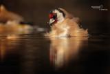 Goldfinch-SKUA'S HEADQUARTERS