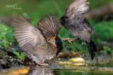 Blackbird-SKUA'S HEADQUARTERS
