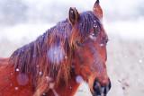 Letea's Wild horse