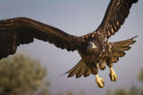 White-tailed Eagle-ULTIMA FRONTIERA