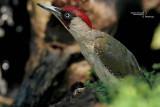 Green Woodpecker-SKUA'S HEADQUARTERS