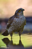 Sparrowhawk-SKUA'S HEADQUARTERS
