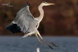 Grey Heron-Cascina Spinola