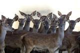 Spanish Deer