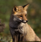 Red Fox- La Mandria