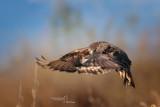 Common Buzzard-CASCINA SPINOLA