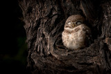Spotted Owlet-BHARATPUR-India