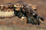 Common Buzzard-SAN GENUARIO