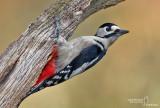Great Spotted Woodpecker-LA MANDRIA