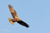Marsh Harrier-CASCINA SPINOLA