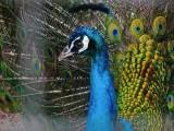 Peacock at Warracknabeal River Park
