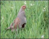 Partridge / Patrijs / Perdix perdix