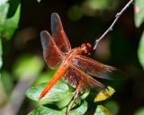 dragonflies_damselflies_antlion
