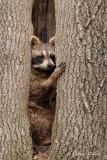 Raton laveur_Y3A1437 - Raccoon