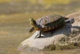 Tortue_Y3A7634 - Turtle