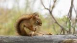 Écureuil roux_Y3A8718 - Red Squirrel
