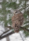 Chouette rayée_Y3A9355 - Barred Owl
