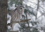Chouette rayée_Y3A9368 - Barred Owl