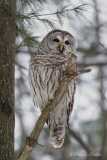 Chouette rayée_Y3A9268 - Barred Owl