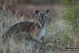 Bridled Nail-tail Wallaby